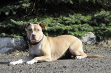 Ruby (Pitbull Terrier) - Boot Camp Level III. Dog Training