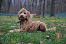 Rusty (Australian Labradoodle) Boot Camp Level I. Dog Training