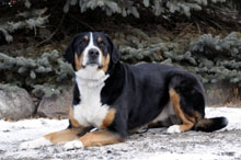 Ruthie (Swiss Mountain Dog) - Boot Camp Level II. Dog Training