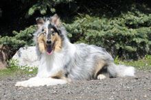 Skylar (Collie) - Boot Camp Level I. Dog Training