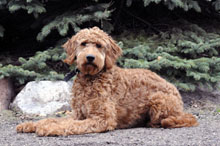 Sully (Goldendoodle) - Boot Camp Level II. Dog Training