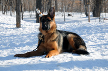 Sydney - German Shepherd Boot Camp Dog Training