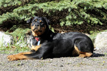 Ursa (Rottweiler) - Boot Camp Level II. Dog Training