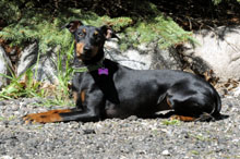 Willow (Manchester Terrier) - Obedience Level II. Dog Training