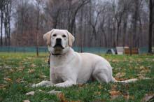 Wilson (Labrador Retriever) Boot Camp Level I. Dog Training