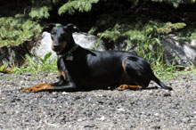 Winston (Manchester Terrier) - Obedience Level II. Dog Training