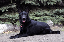 Zeba (German Shepherd) - Boot Camp Level III. Dog Training