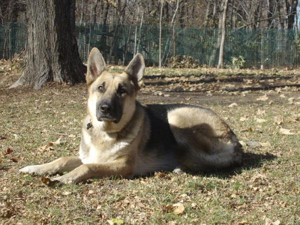 Neuman K-9 Academy Graduate Zeus - German Shepherd Training in Minnesota