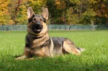 Zeus - German Shepherd Dog Training