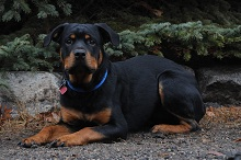 Bear (Rottweiler) - Boot Camp Level II. Dog Training