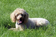 Beemer (Miniature Poodle) - Boot Camp Level III. Dog Training
