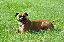 Bella (Boxer) - Boot Camp Level I. Dog Training