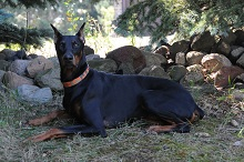 Bentley (Doberman Pinscher) - Boot Camp Level I. Dog Training