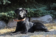 Bruce (Black Lab) - Boot Camp Level I. Dog Training