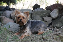 Brutus (Yorkie) - Boot Camp Level III. Dog Training