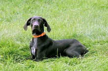 Cahill (German Shorthair) - Boot Camp Level I. Dog Training