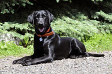 Cherry (Labrador Retriever) - Boot Camp Level II. Dog Training