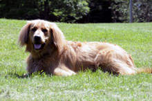 Chester (Golden Retriever) - Boot Camp Level II. Dog Training