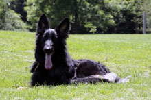 Gerda (German Shepherd) - Boot Camp Level II. Dog Training