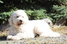 Guinness (Goldendoodle) - Boot Camp Level I. Dog Training