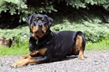 Inge (Rottweiler) - Boot Camp Level II. Dog Training