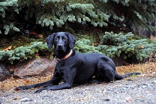Ivy (Labrador Retriever) - Boot Camp Level II. Dog Training
