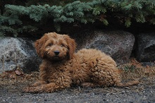Jack (Goldendoodle) - Puppy Boot Camp Level I. Dog Training