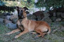 Jackson (Malinois) - Boot Camp Level II. Dog Training