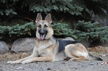 Jayma (German Shepherd) - Boot Camp Level I. Dog Training