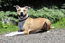 Kasey (Pitbull Terrier) - Boot Camp Level II. Dog Training