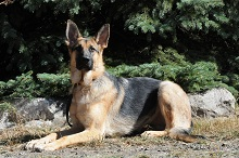 Koda (German Shepherd) - Boot Camp Level II. Dog Training