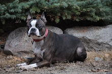 Lila (Boston Terrier) - Boot Camp Level III. Dog Training