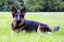 Ling Ling (German Shepherd) - Boot Camp Level II. Dog Training