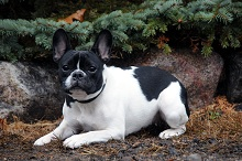 Lucy (French Bulldog) - Boot Camp Level II. Dog Training