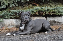Luna (Pitbull Terrier) - Boot Camp Level II. Dog Training