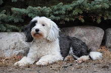 Maggie (Tibetan Terrier) - Boot Camp Level II. Dog Training