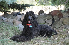 Maks (Poodle) - Obedience Level III. Dog Training
