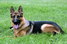 Max (German Shepherd) - Boot Camp Level I. Dog Training