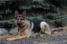 Nico (German Shepherd) - Boot Camp Level II. Dog Training