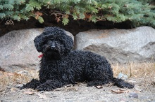 Nizzy (Poodle) - Boot Camp Level II. Dog Training