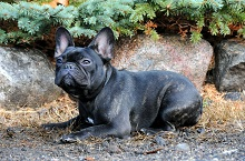Oscar (French Bulldog) - Boot Camp Level II. Dog Training