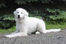 Paika (Great Pyrenees) - Obedience Level II. Dog Training