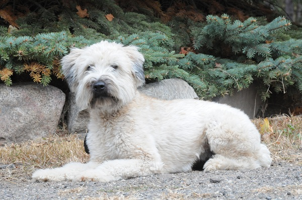 Riley (Wheaten Terrier) - Boot Camp Level I. Dog Training