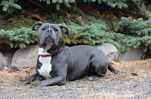 Roman (Pitbull Terrier) - Boot Camp Level II. Dog Training