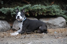 Sam (Boston Terrier) - Boot Camp Level III. Dog Training