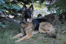 Sota (German Shepherd) - Boot Camp Level II. Dog Training