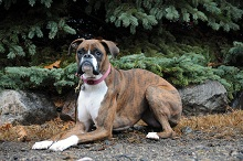 Sugar (Boxer) - Boot Camp Level II. Dog Training