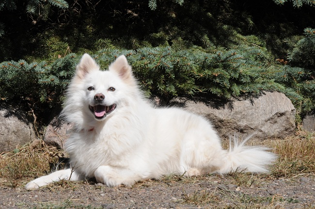 Suka (Eskimo Dog) - Boot Camp Level II. Dog Training