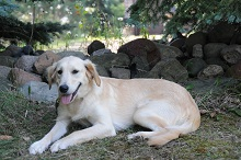 Sunny (Golden Retriever) - Boot Camp Level III. Dog Training