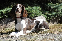 Theo (Springer Spaniel) - Boot Camp Level I. Dog Training